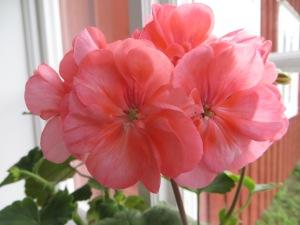 Stillerydpelargonens blomma